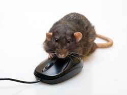 Rat on Mouse